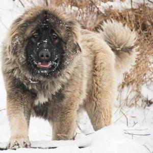 خرید سگ قفقازی