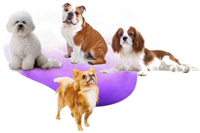 خرید انواع نژادهای سگ اپارتمانی