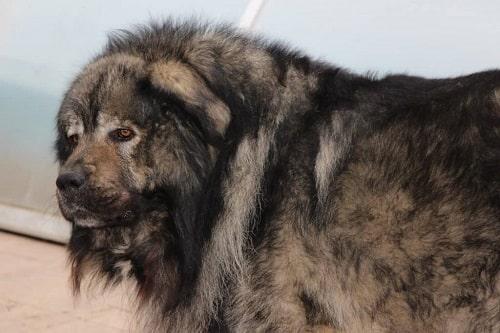 ویژگی های ظاهری نژاد سگ قفقازی