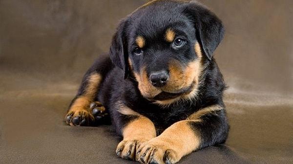 ظاهر سگ های روتوایلر اصیل