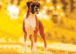 خرید سگ باکسر