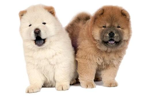 تاریخچه سگ های چاو چاو