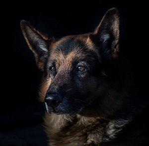 تاریخچه سگ ژرمن شپرد