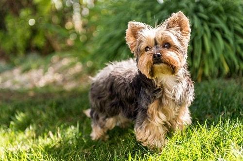 ویژگی های ظاهری سگ های یورکشایر