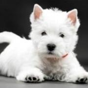 خرید سگ وست هایلند تریر