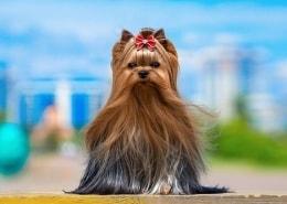 خرید سگ یورکشایر