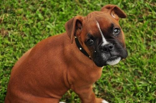 فروش سگ باکسر