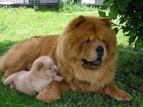 خصوصیات اخلاقی سگ های چائو چائو