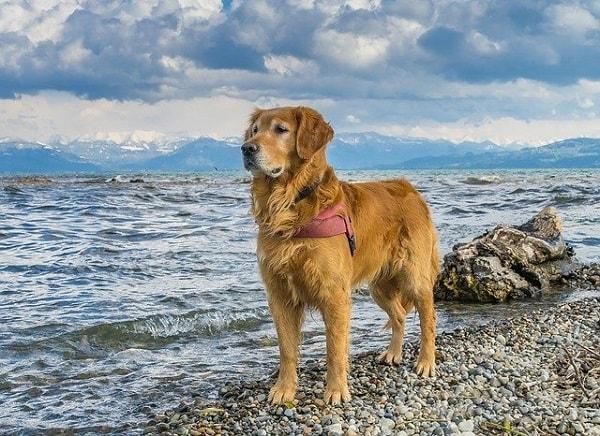 میزان فعالیت های بدنی سگ گلدن