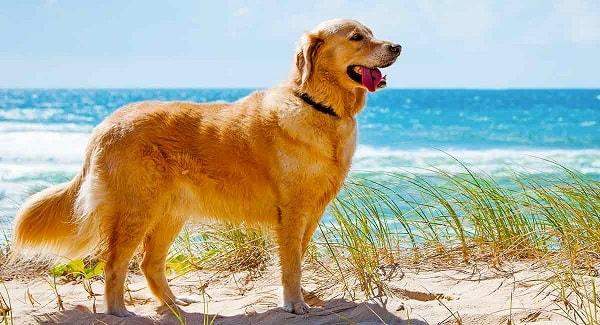 خصوصیات ظاهری سگ رتریور طلایی