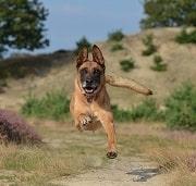 فروش سگ مالینویز بلژیکی