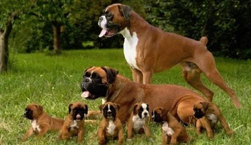 سگ ها باکسر