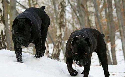 خصوصیات رفتاری سگ های Cane Corso