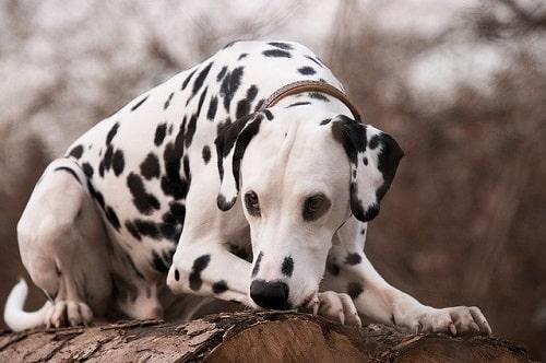 ویژگی و خصوصیات سگ خالدار(دالمیشن)