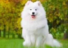 خرید سگ سامویید