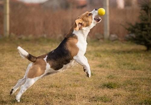 پریدن سگ برای گرفتن توپ