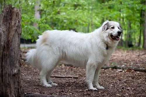 سگ گریت پیرنیز