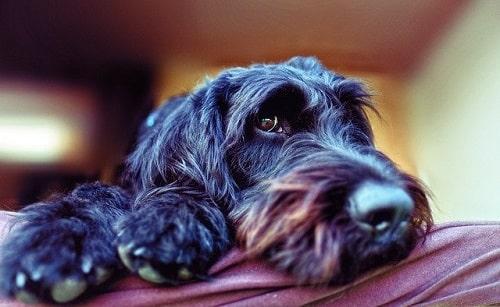 سگ لابرادودل (Labradoodle)