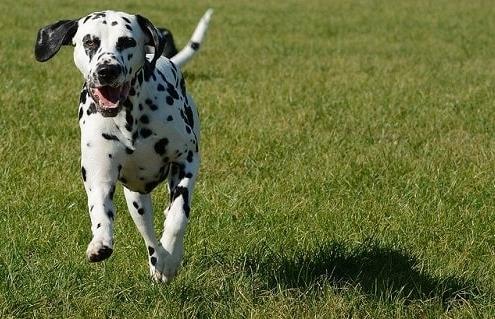 ویژگی های ظاهری سگ دالمیشن اصیل