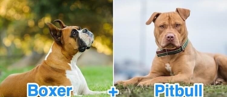 مقایسه ویژگی های پیت بول تریر و باکستر