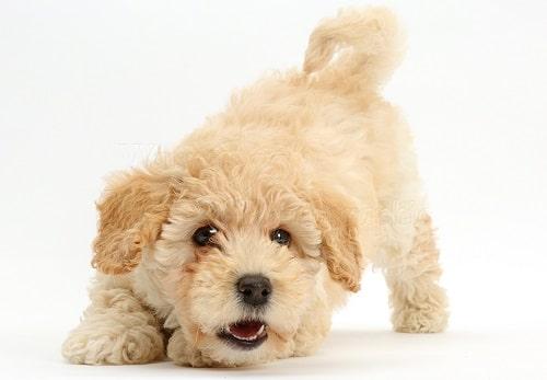 سگ Poochon