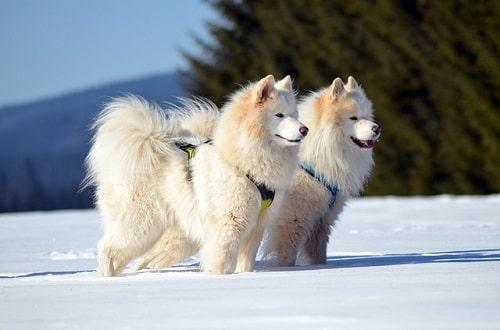شرایط نگهداری و مراقبت از سگ های Samoyed