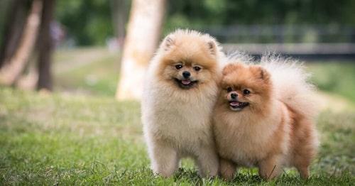 سگ پامرانین