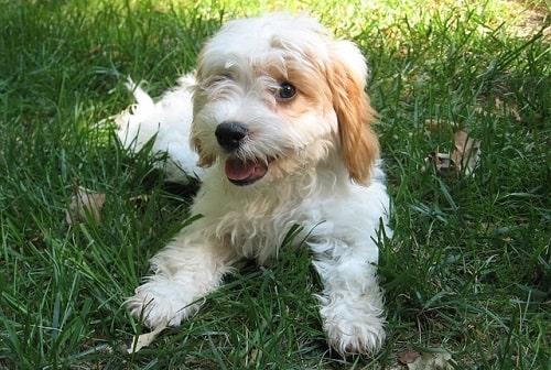 سگ کاواپو (Cavapoo)