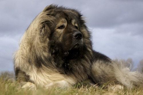 سگ قفقازی