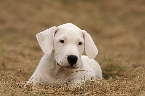 سگ داگو ارژانتینو