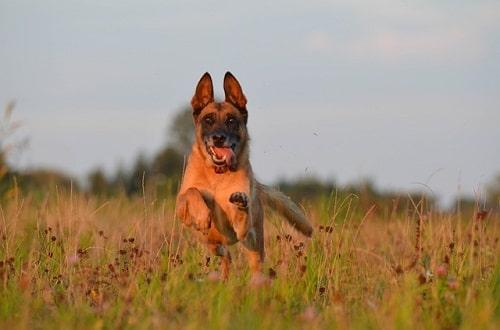 سگ مالینویز بلژیکی