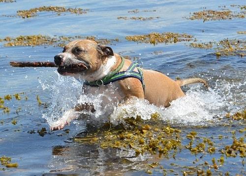 سگ پیت بول تریر