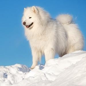 سگ سامویید