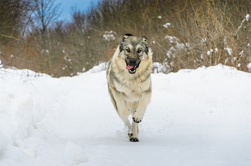 سگ Sarplaninac