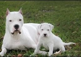 خرید سگ داگو ارژانتینو