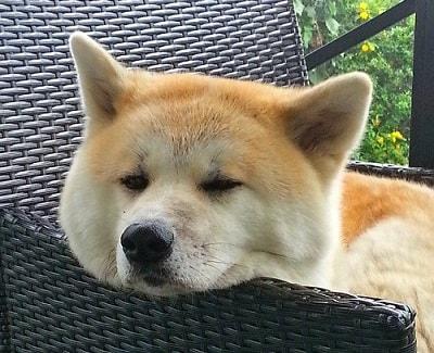 سگ اکیتا (Akita)