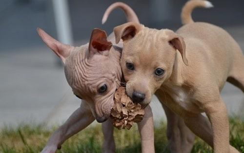 تریر بیموی آمریکایی(American Hairless Terrier)