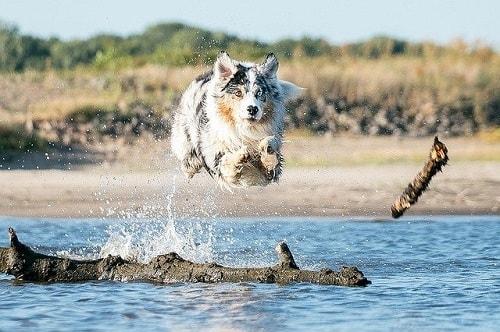 شپرد استرالیایی(Australian Shepherd)