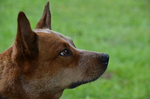 سگ گله استرالیایی
