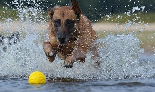 بازی و شنا کردن بلژین مالینویز