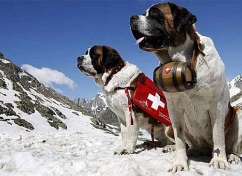 سگ بلادهوند (Bloodhound)