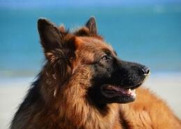 خرید سگ ژرمن شپرد