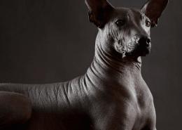نژاد سگ های بی مو
