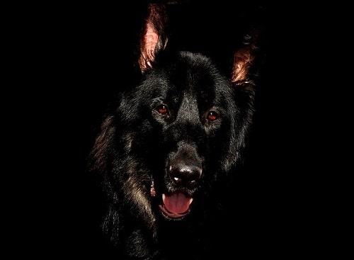 سگ ها چقدر می توانند در تاریکی ببینند؟