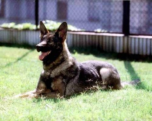 کونمینگ (Kunming Wolfdogs)