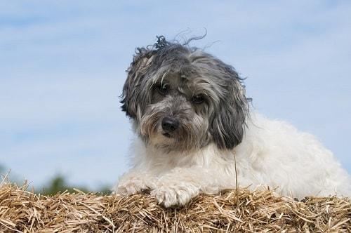 سگ لوچن (Lowchen)