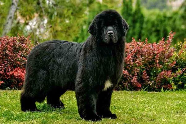 ظاهر سگ نیوفاندلند (بزرگترین سگ های دنیا)