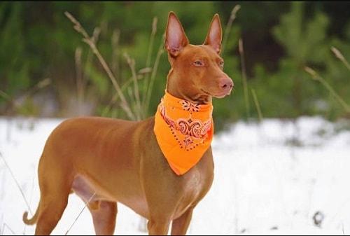سگ فاروهاند (Pharaoh Hound)
