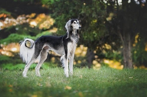 سگ سالوکی (Saluki)