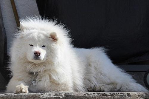 سگ ساموید (Samoyed)